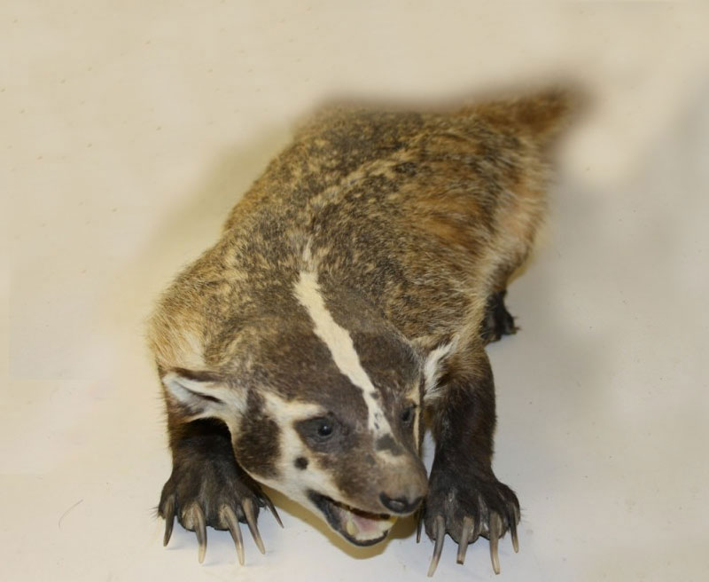 Life-Size Badger, Open Mouth