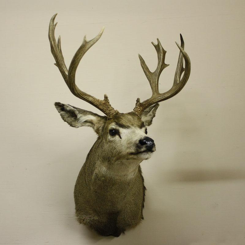 Mule Deer, Slight Left Turn
