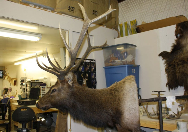 Semi-Sneak Straight-On Elk Mount