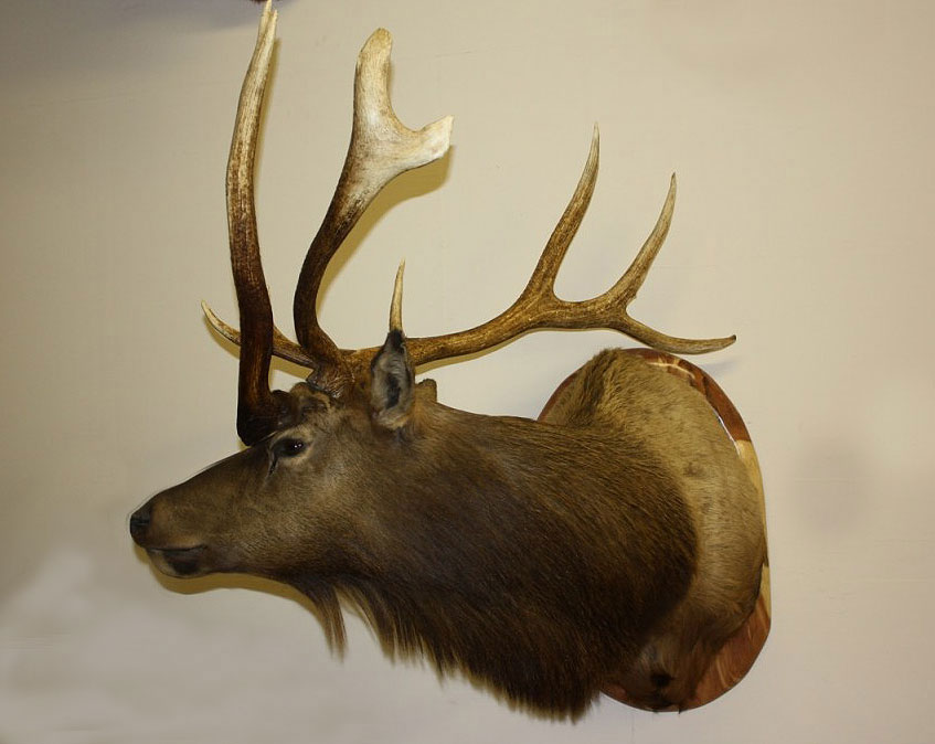 Three-Horned Elk Bull