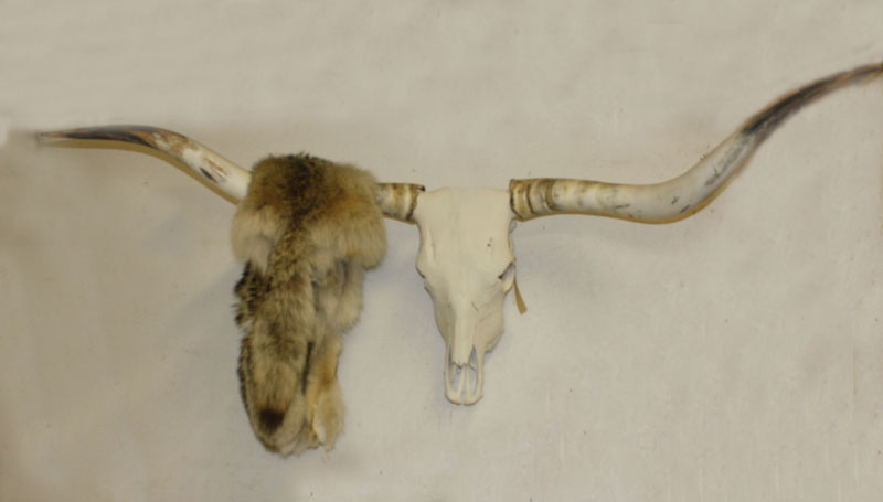 Longhorn with Coyote Pelt