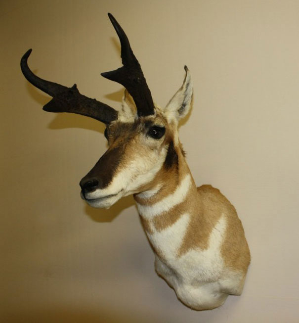 Pronghorn, Upright Straight