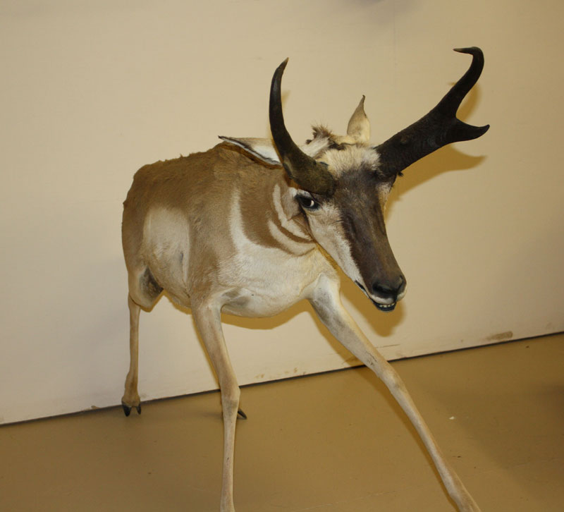 Life-Size Pronghorn